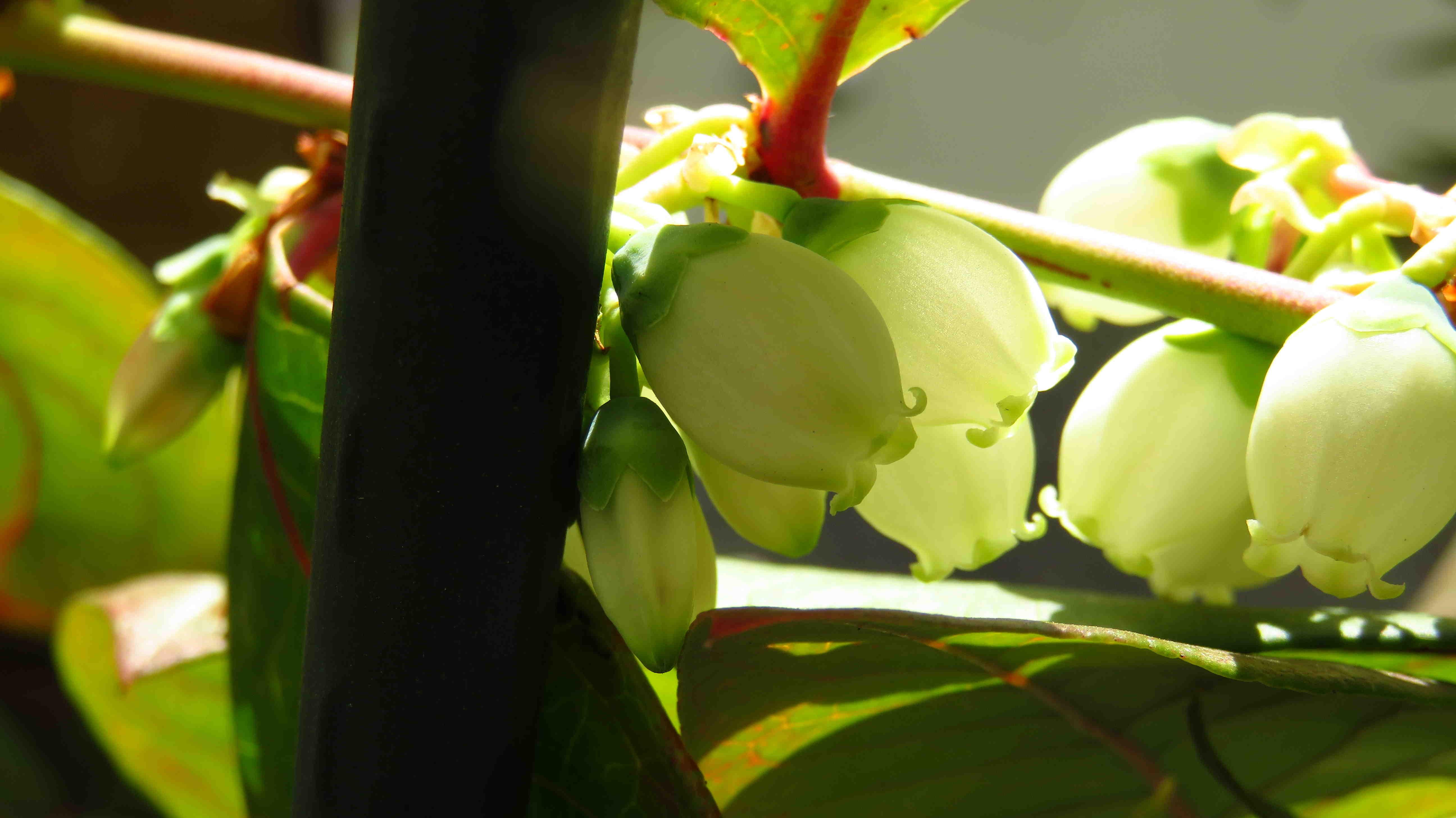 ユーリカの花の様子