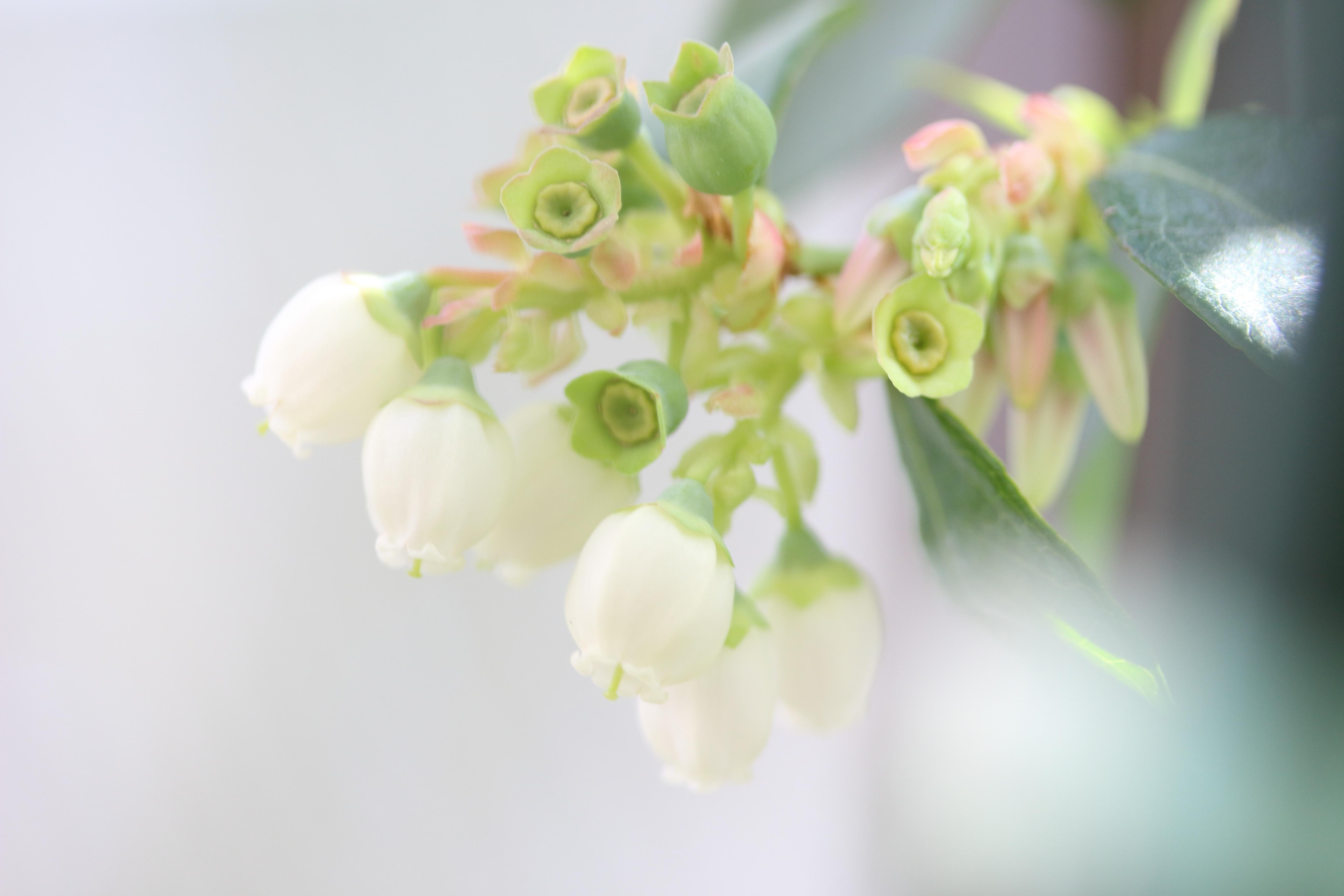サファイア、クレイワー、ユーリカの開花状況