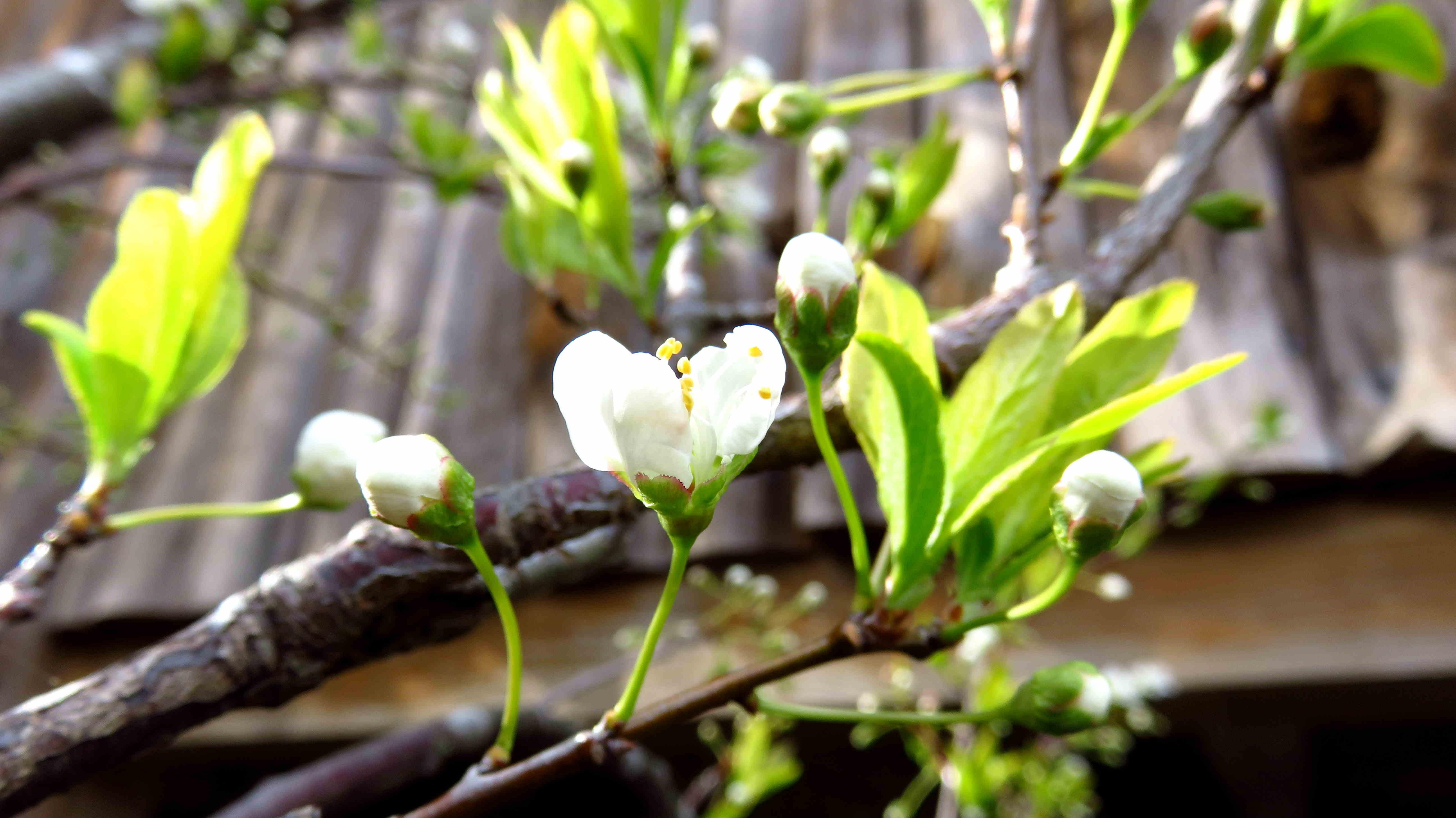 スモモの開花