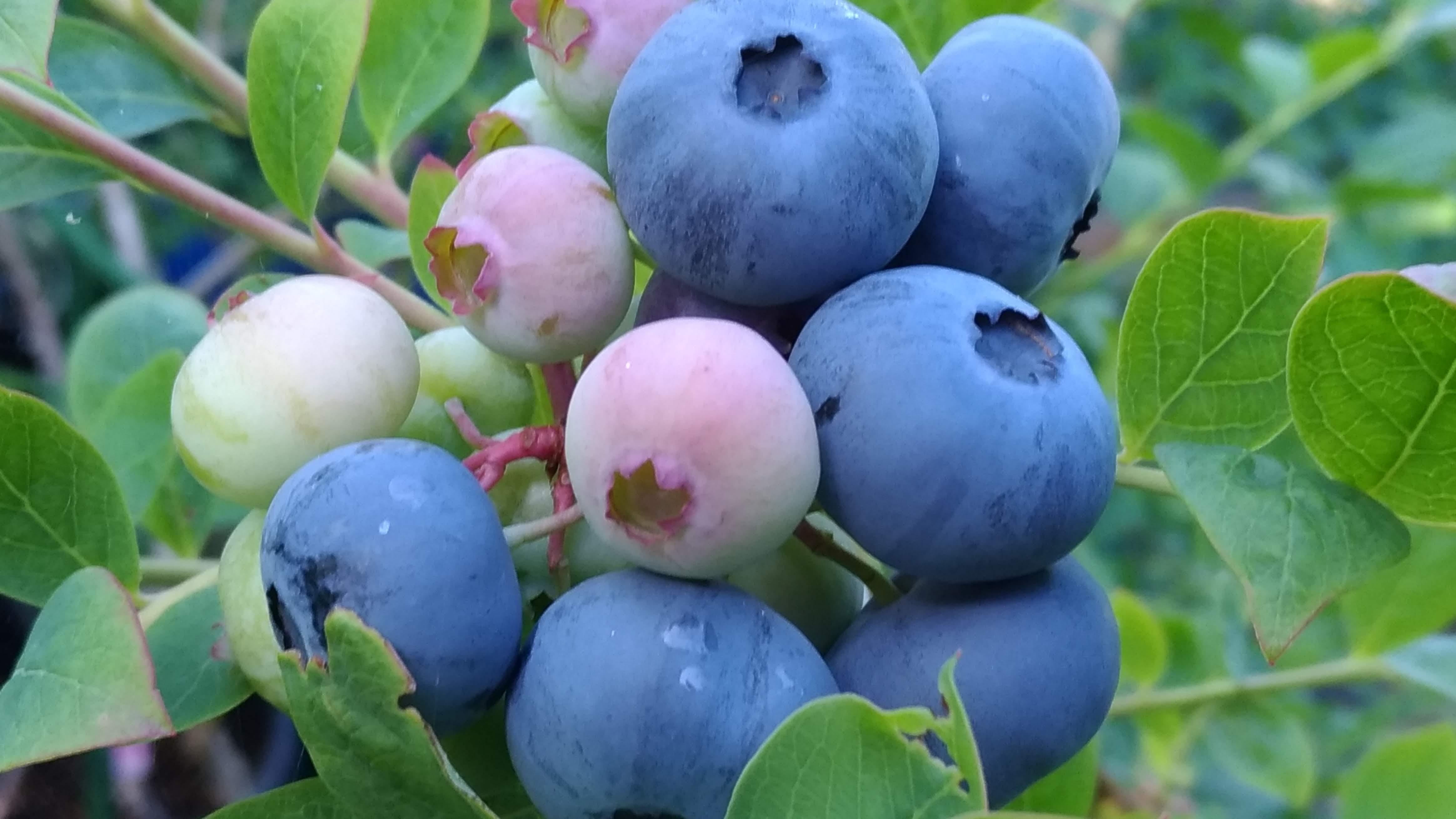 山のブルーベリー収穫